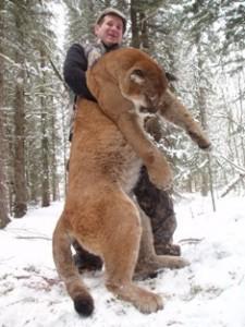 Cougar en pleine chasse