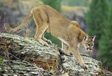 2bddf2746d660 Des « cougars » auraient récemment été vus au Kamouraska