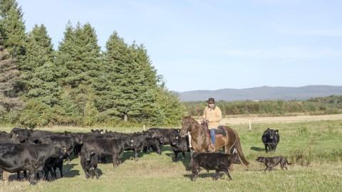L'homme d'affaires Martin Beaulieu se lance dans l'élevage commercial de bovins Angus miniature